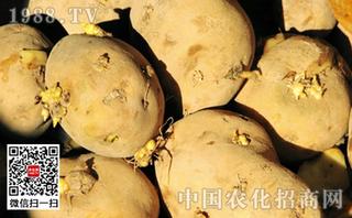 马铃薯催芽方法