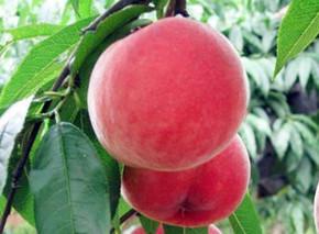 台风暴雨后柑橘园、梨园、桃园、葡萄园恢复生产技术指导意见