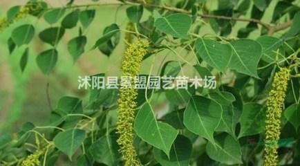 乌桕种子怎么浸泡催芽