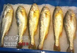 宁波岱衢族大黄鱼