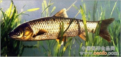无公害草鱼高效快速养殖技术