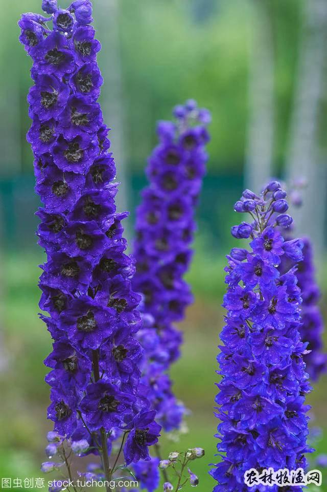 这几种蓝色系植物的代表,最适合营造夏季花园