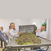 """峨山:种下油橄榄 荒山变""""金山"""""""