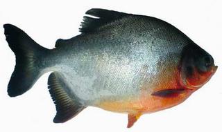 淡水白鲳鱼苗下塘注意事项