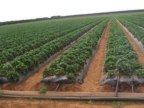 保护地草莓膜下滴灌