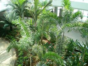 狐尾椰子树北方可以种植吗?狐尾椰子树种植技术