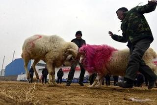 聊城阳谷:斗鸡斗羊盼六畜兴旺