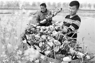 山东:乡村振兴有力量 莲藕上市了