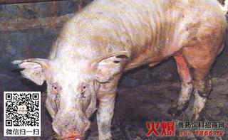 猪疥螨病的治疗方法