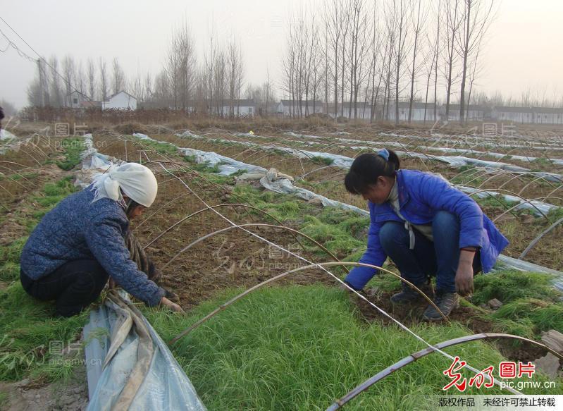 用种子种植芦笋