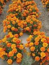 孔雀草几月份种植