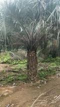 布迪椰子怎么繁殖?布迪椰子繁殖栽培技术