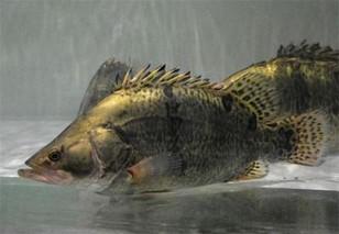 珠江水产研究所在鳜鱼选育方面取得进展