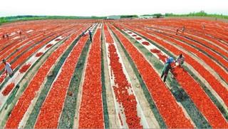 新疆西红柿映红致富路