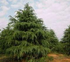 雪松树苗种植时间