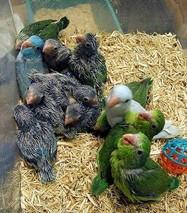 牡丹鹦鹉雏鸟的饲喂