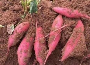 西瓜地里的红薯丰收了