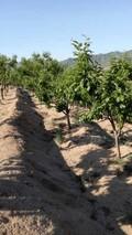 板栗园夏季怎么改良土壤?