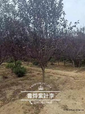 种植红叶李哪个季节好?红叶李种植时间及管理技术