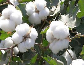 水棉花的功效与作用