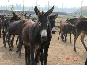 肉驴养殖要谨慎