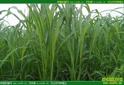 苏丹草几月份播种?苏丹草种植技术和方法