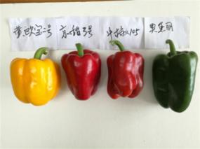 """渝鲁科技扶贫协作成效凸显 甜椒与西甜瓜也能""""重庆产"""""""