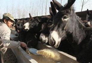 养殖肉驴投药四大法