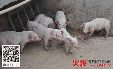 发生猪胃溃疡要从饲料上找原因