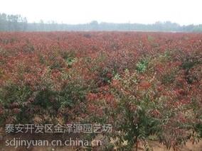 红叶碧桃什么时间栽?红叶碧桃种植时间方法