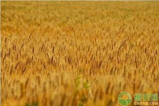 今日小麦收购价一斤多少钱?附最新行情走势分析