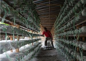 景宁县助推食用菌产业健康发展