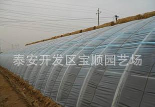 山东寿光尹家村香椿生产成规模