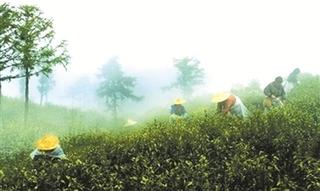 高山茶和平地茶