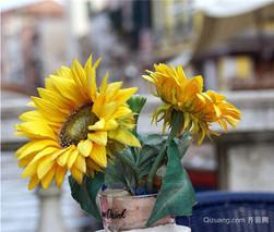 向日葵该怎样施肥?