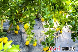 甘肃酒泉:寒冬时节 戈壁滩上柠檬飘香