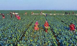 """响水县精心打造""""两高""""两侧万亩薄壳山核桃基地"""