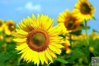 盆栽向日葵什么品种好?盆栽向日葵种植时间和方法