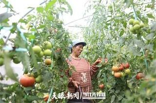 威宁自治县秀水镇极速5分排列3蔬菜基地西红柿喜获丰收