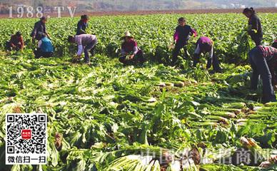 种植芥菜的种植方法以及要点