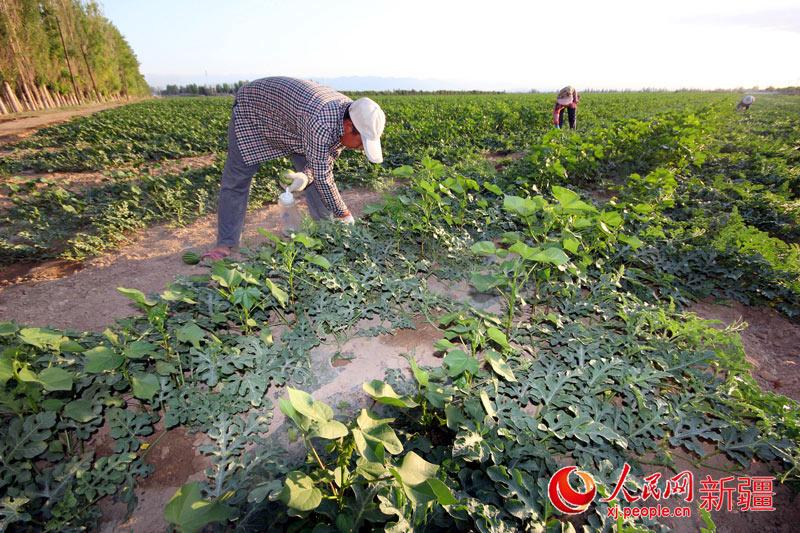 棉花套种甜玉米丰产增收两相宜