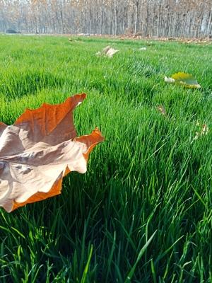 什么是冷季型草坪草?冷季型草坪品种有哪些?