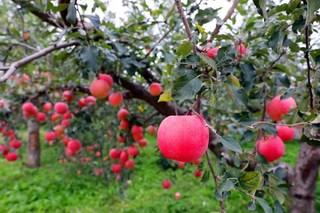 昌平今年苹果总产量预计1500万公斤