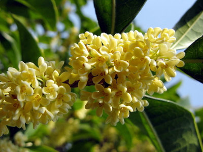 桂花品种有哪些?常见的桂花树品种介绍