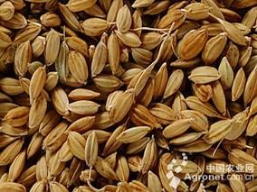 深挖米糠资源 力促多元应用