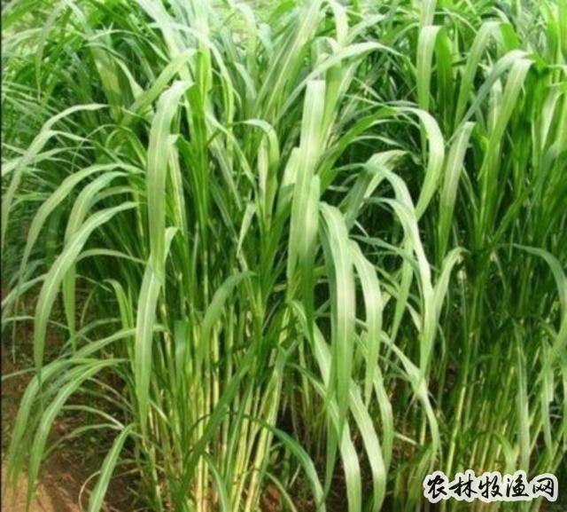 """玉米""""三比空""""种植技术"""