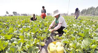 濮阳甜瓜种植有标准