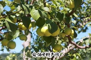 东山京白梨