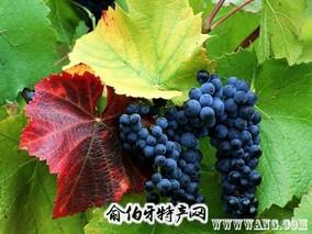 柳河山葡萄
