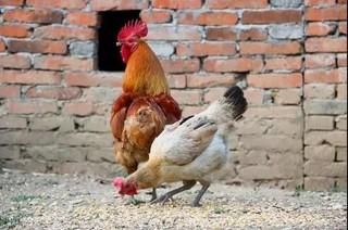 """如何防止""""裸背""""鸡?"""